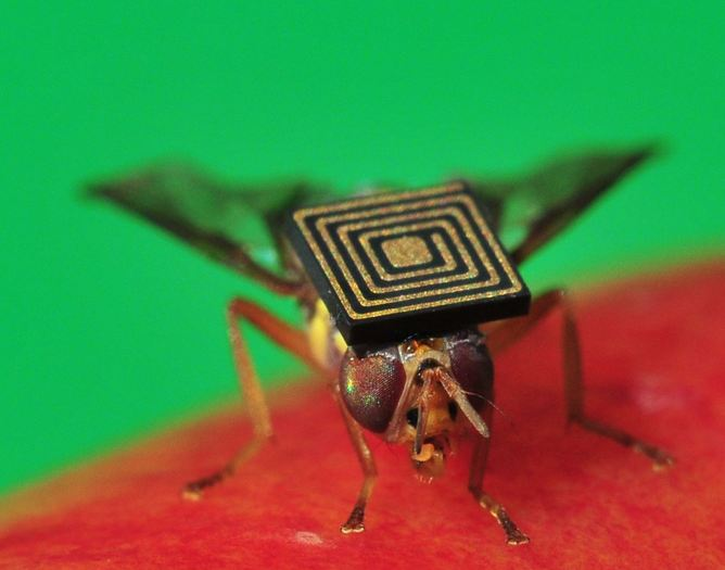 Queensland backpacker: a fruit fly fitted with a micro-sensor.   CSIRO/supplied