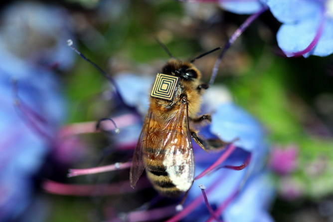 Micro-sensing backpacks are being fitted to 5000 Tasmanian bees.     CSIRO/Supplied