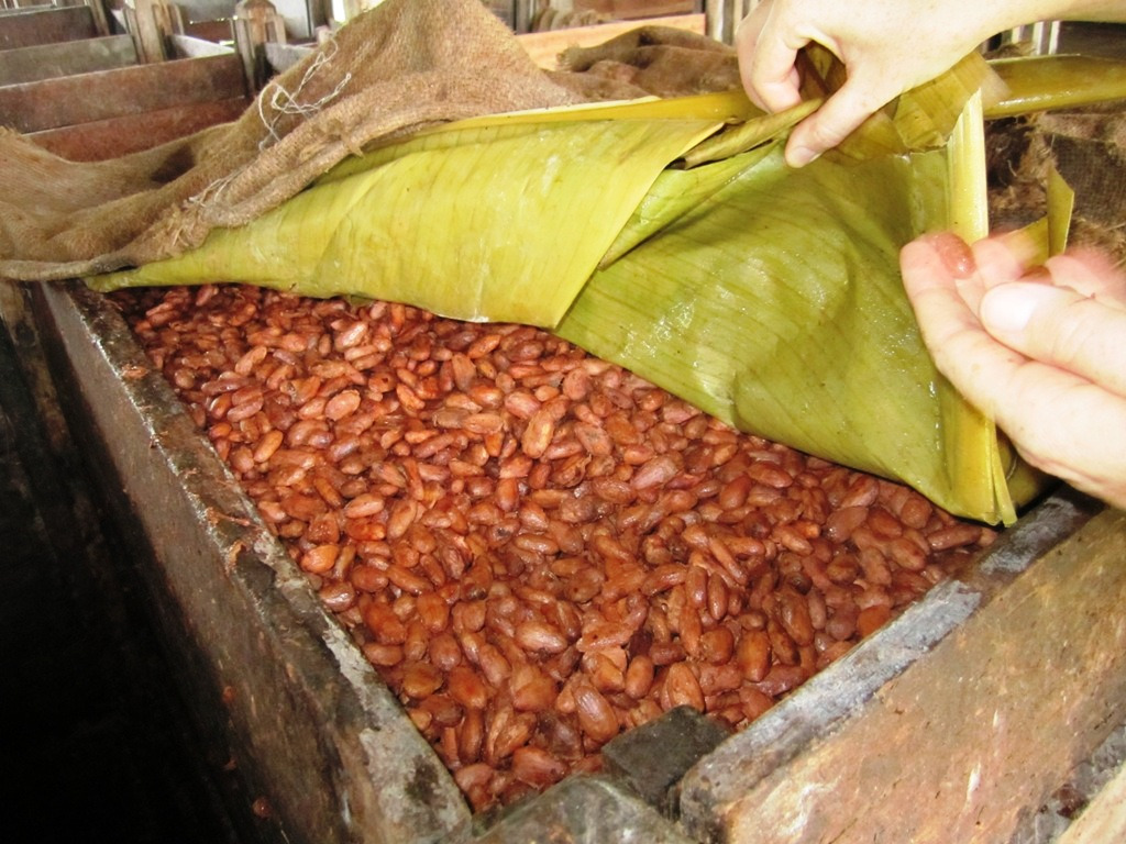 fermented cocoa beans.. turning brown