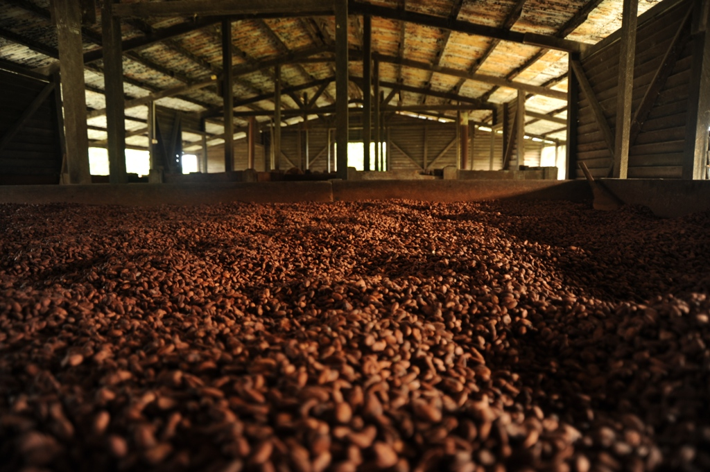 fermented cocoa beans, drying on the wood-fired beds