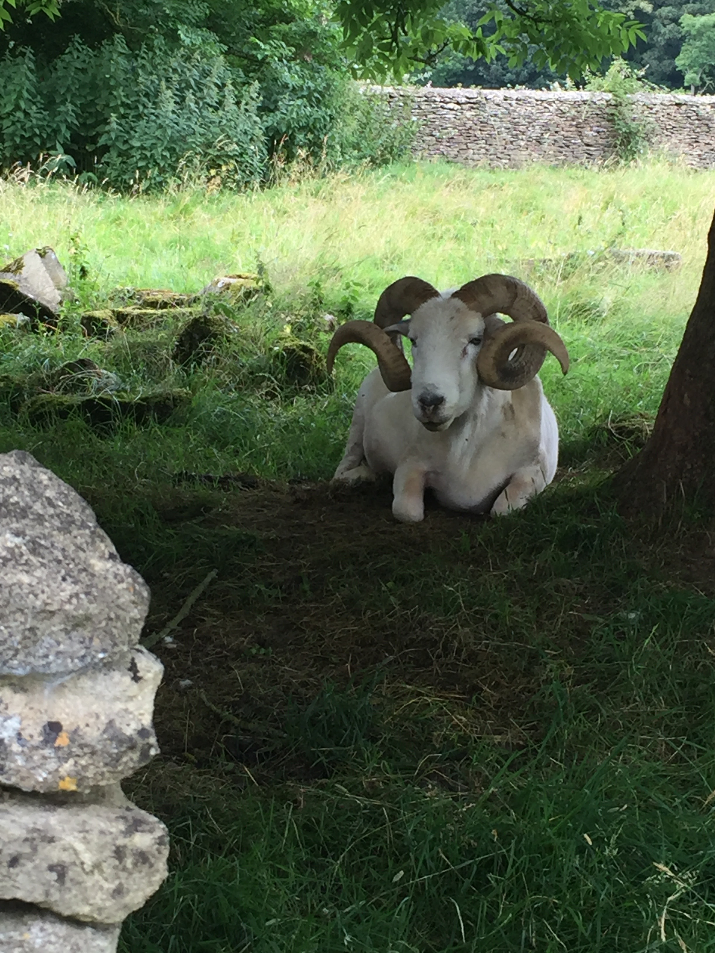 One of Phoebe's new friends, one of the three rams on the property.