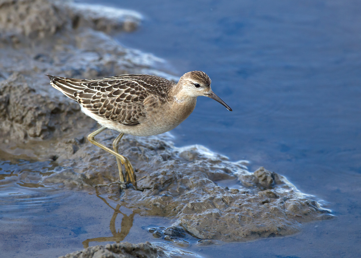 Ruff from the new Eric Morecambe hide (Mike Watson)