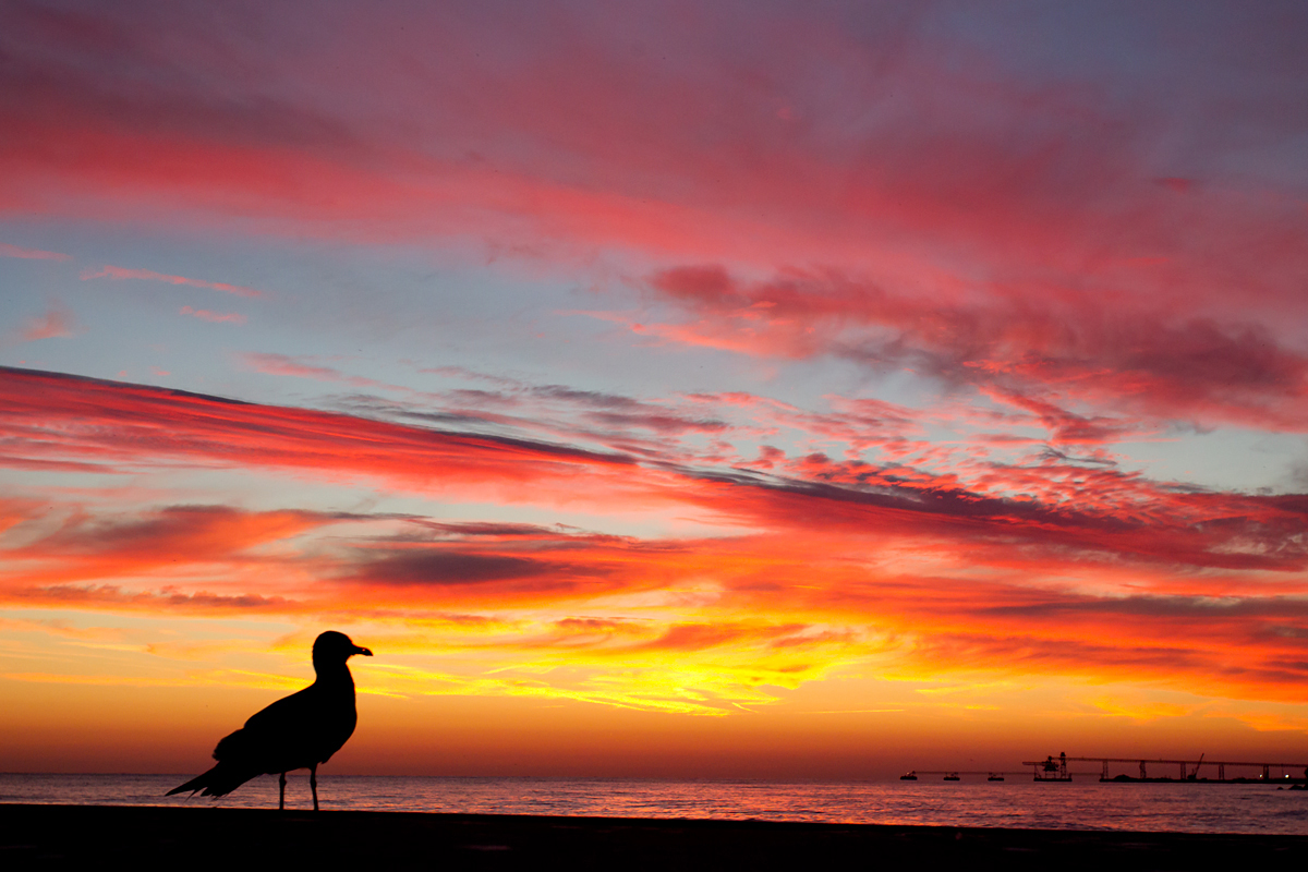 American Herring Gull against an Erie sunrise at Lakeside OH