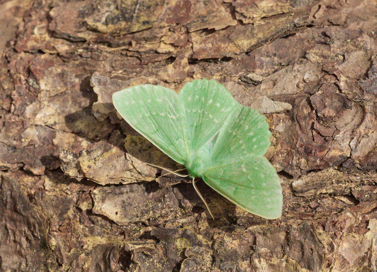 Large Emerald Moth, Crow Wood Farm (Mike Watson)