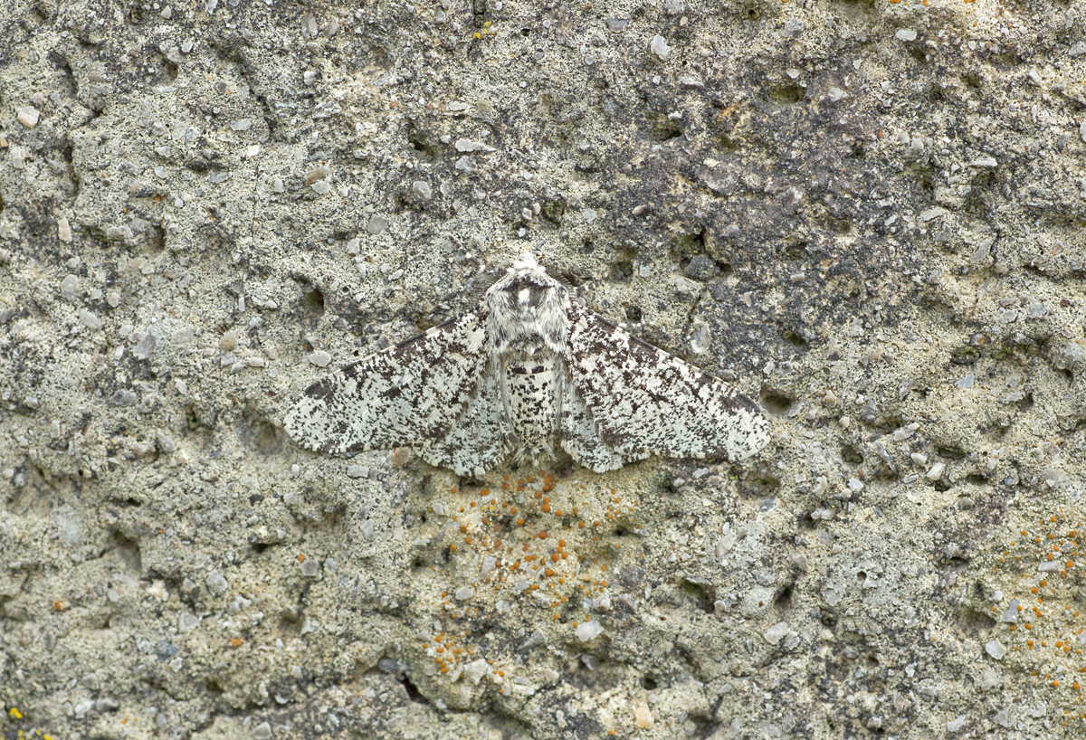 Peppered Moth against a pebble-dashed wall