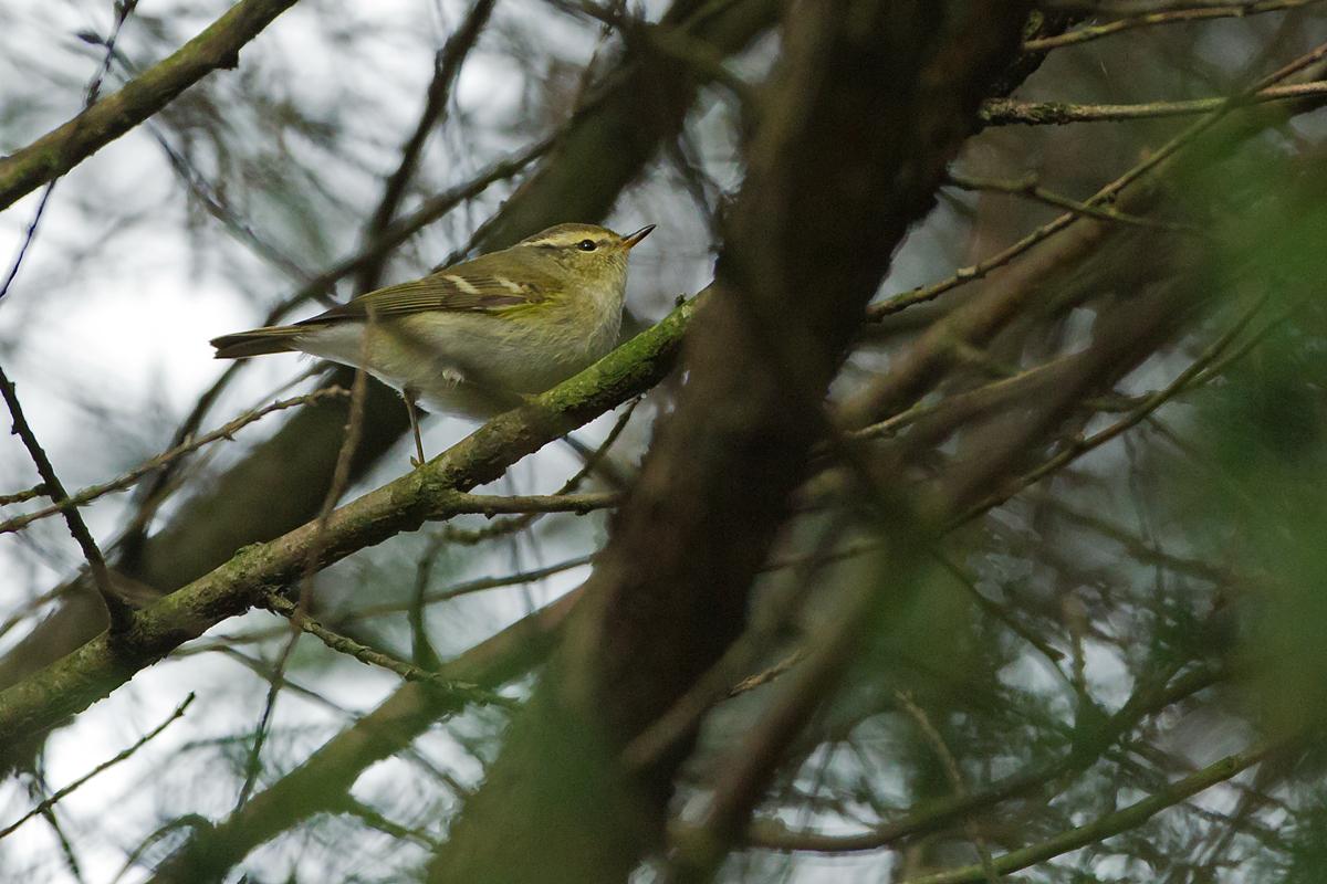 Yellow-browed Warbler, River Calder, Padiham
