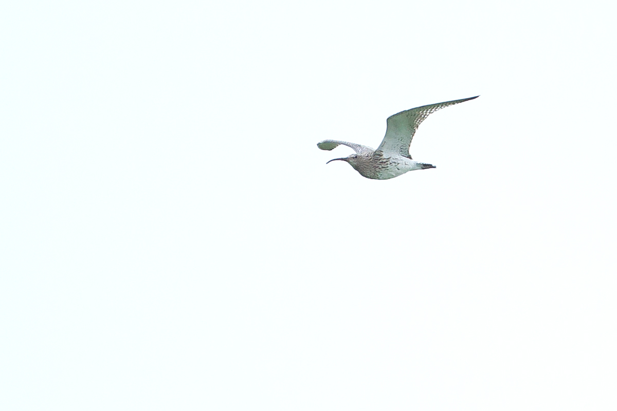 Eurasian Curlew flying west up the Ribble Valley at Ribchester