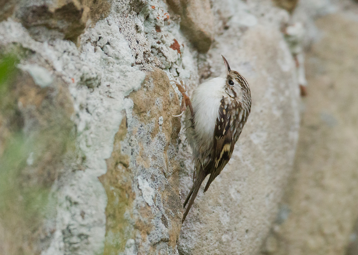 Northern Treecreeper, Warren Cottage, Spurn Point