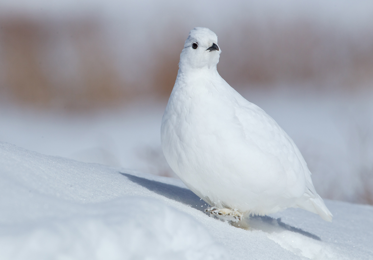 White-tailed Ptarmigan, Guanella Pass CO