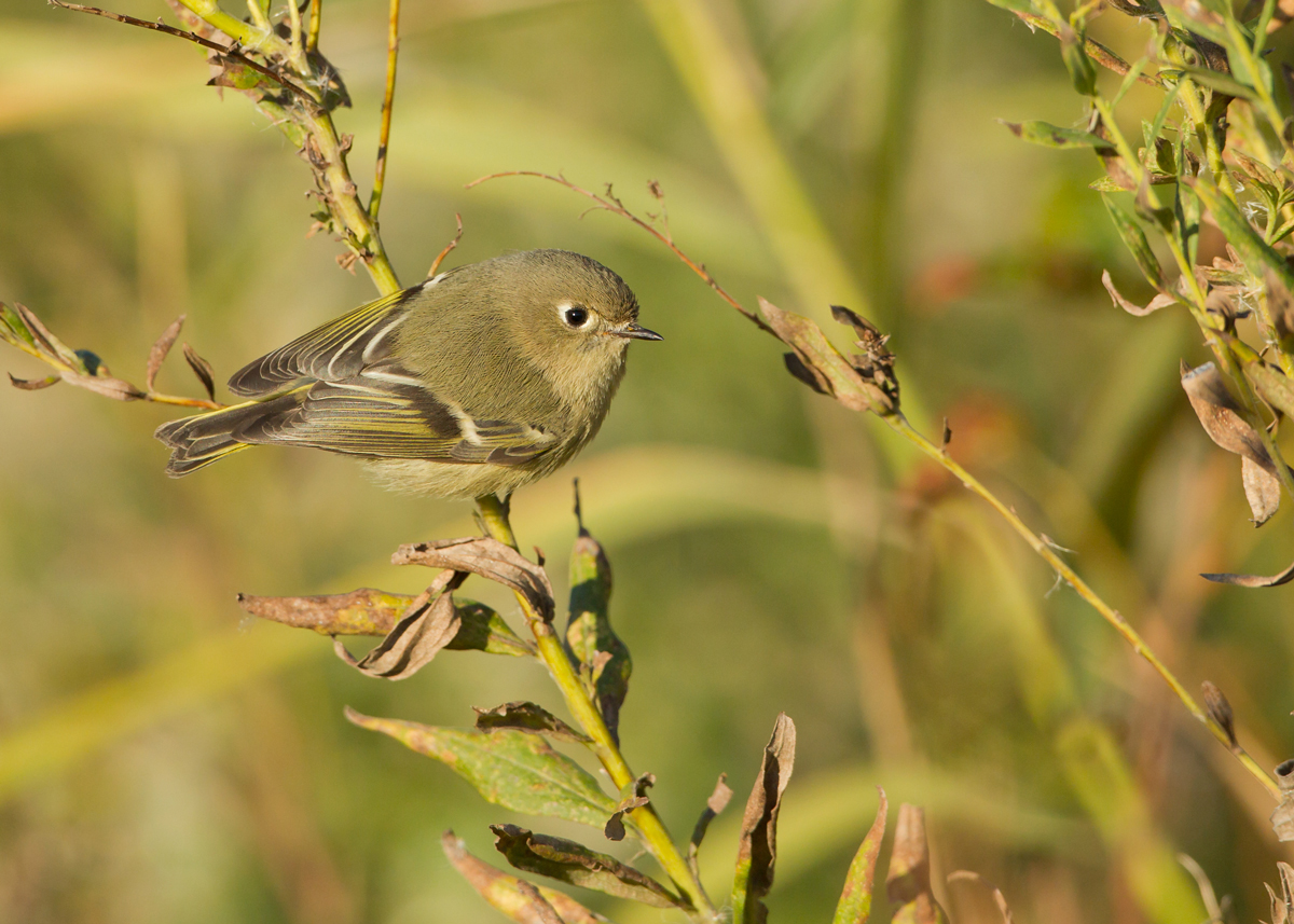 Ruby-crowned Kinglets are such wonderful little creatures, hover-gleaning under leaves or foraging on plants