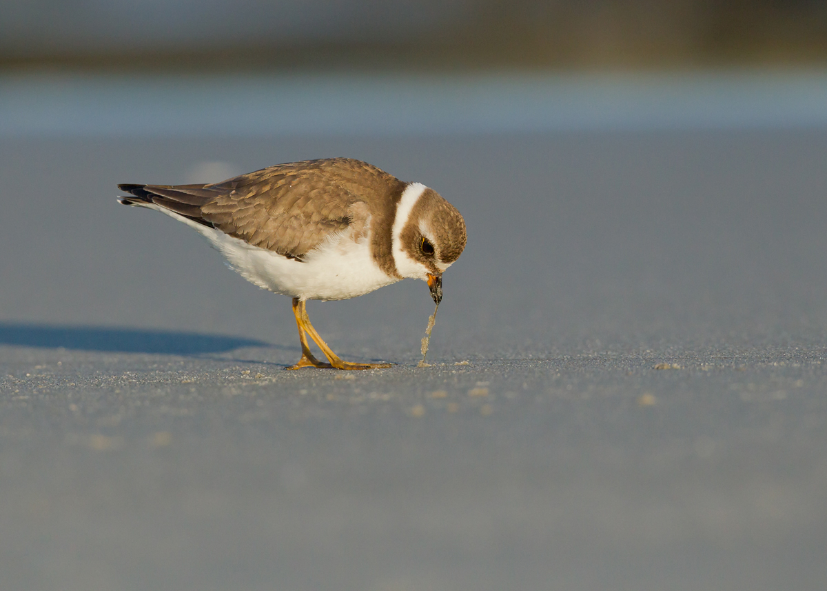 A Semi-palmated Plover feeding on the shore.