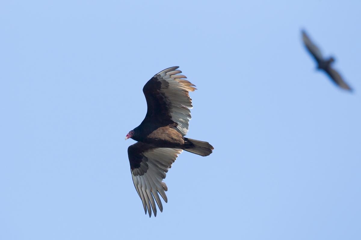 TV or Turkey Vulture!