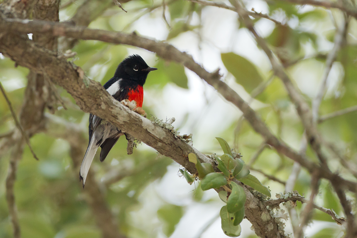 Painted Redstart (Brook County Rest Area, US281 south of Falfurrias)