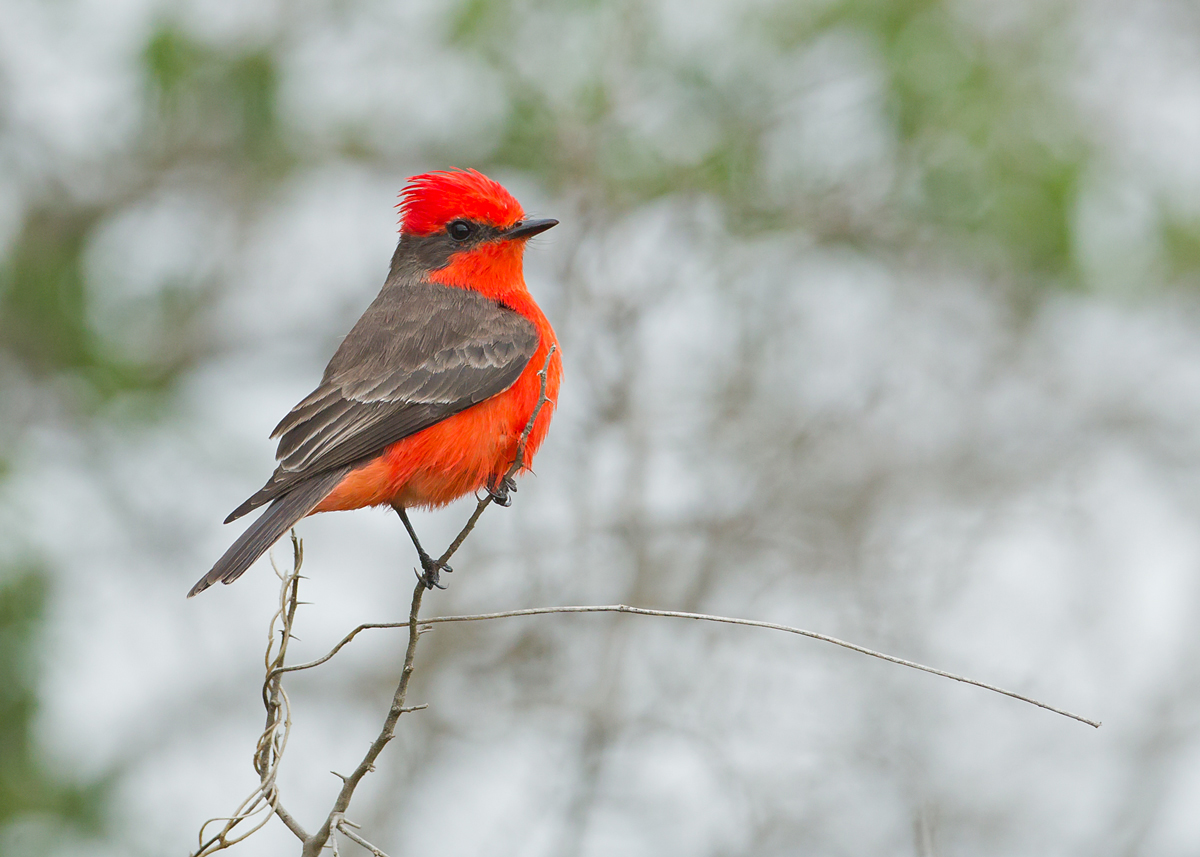 Outrageously gaudy even more or less straight out of the camera - Vermillion Flycatcher