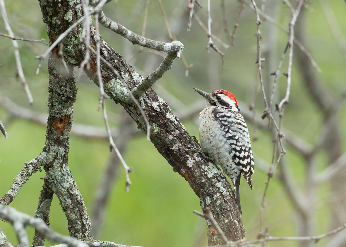 Ladder-backed Woodpecker, El Canelo Ranch