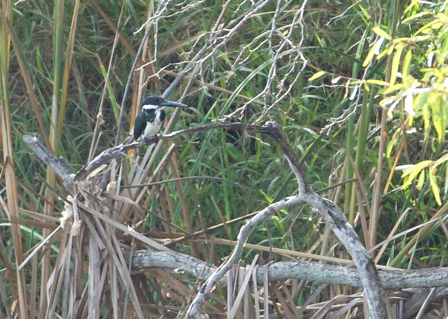 Amazon Kingfisher, San Benito TX