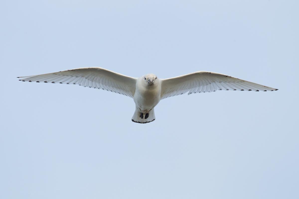 Ivory Gull incoming!