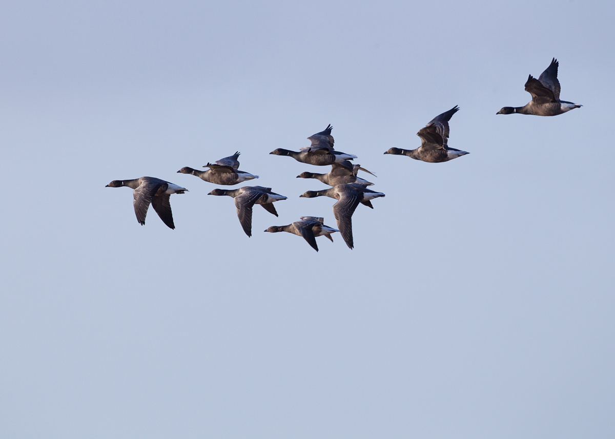 Brent Geese flying along the Humber shore at Spurn