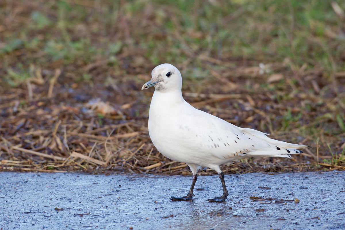 Ivory Gull, Patrington Haven