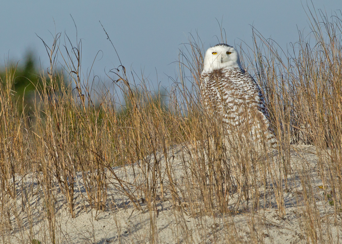 Snowy Owl (first winter female), Little Talbot Island State Park - the third record for Florida