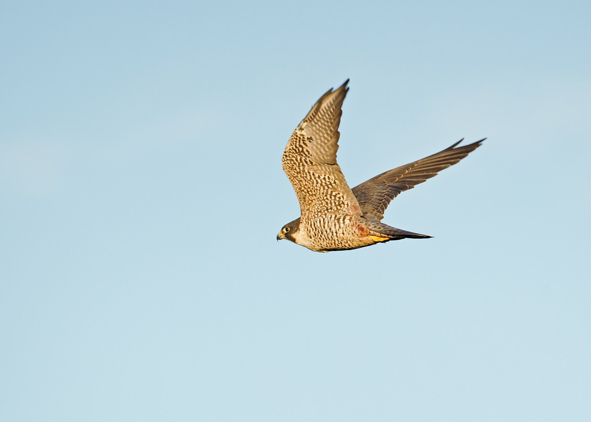 Peregrine Falcon, heading off after an early morning meal, with blood still on its thighs!
