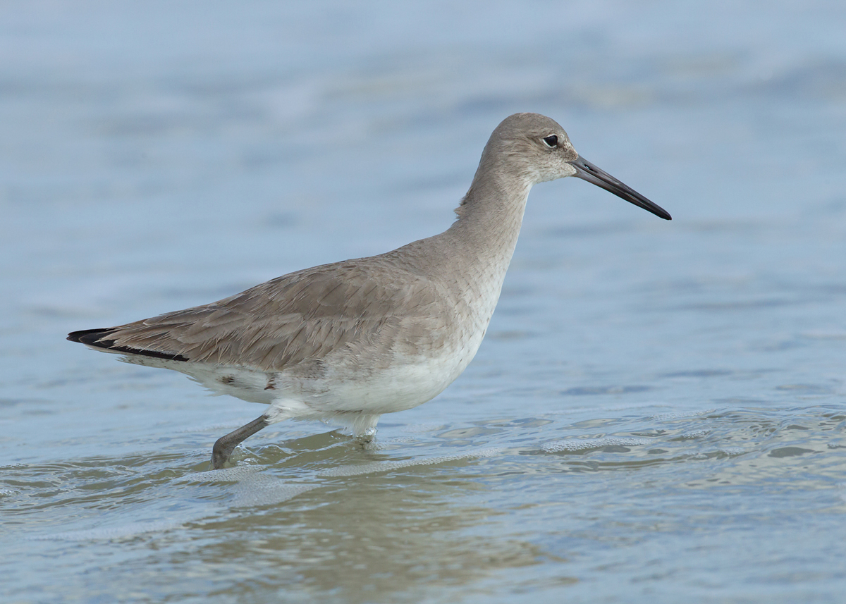 A willet, presumably western, wades belly deep in the surf at Anastasia SP