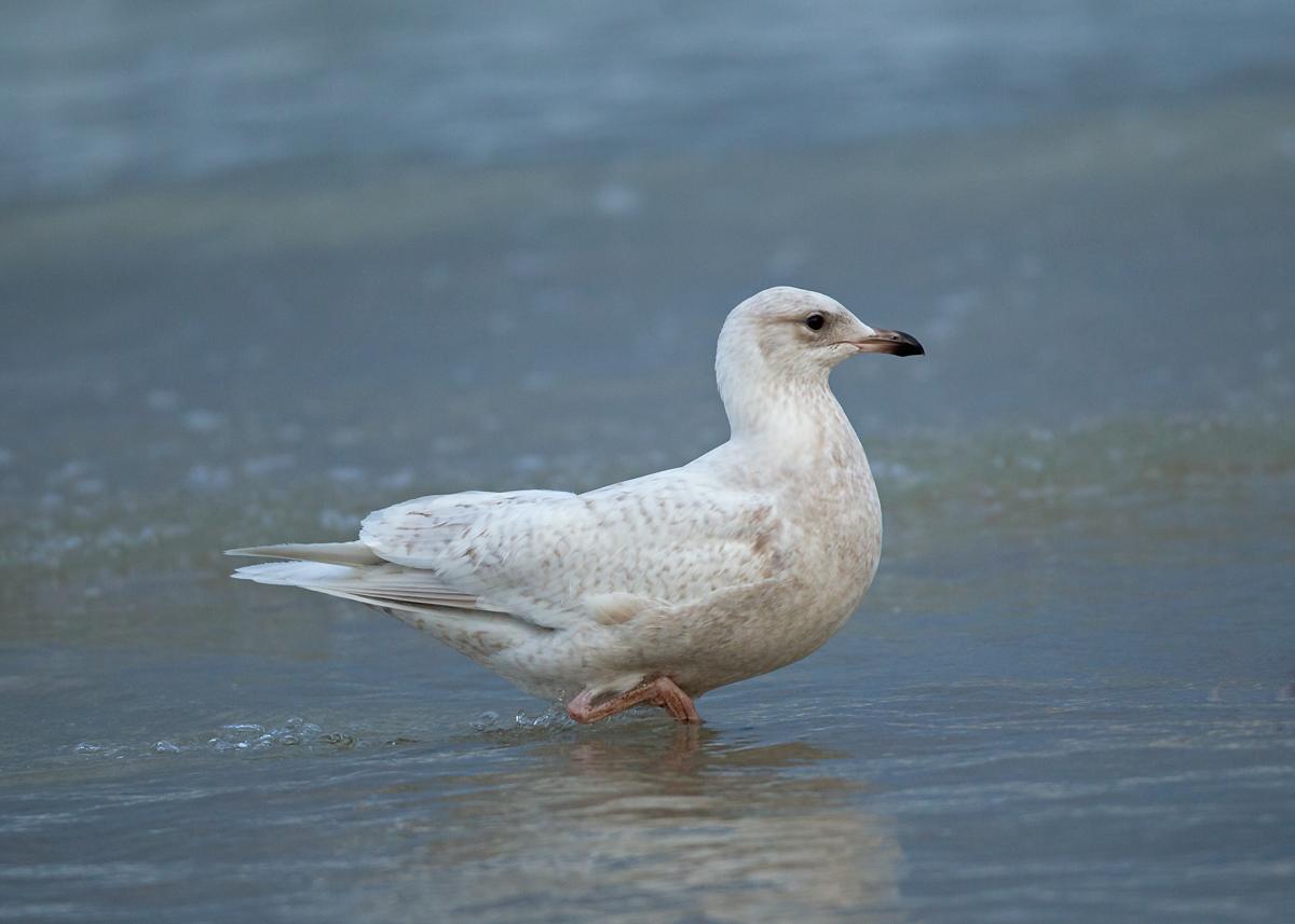 Iceland Gull, Daytona Beach Shores