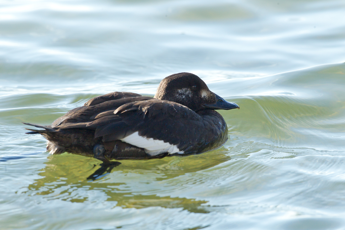 White-winged Scoter, Parrish Park, Titusville FL