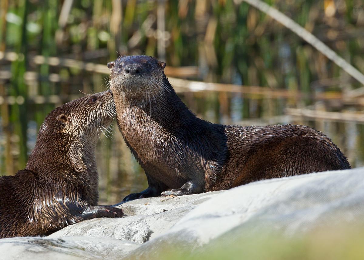 River Otters, East Lake Tohopekaliga