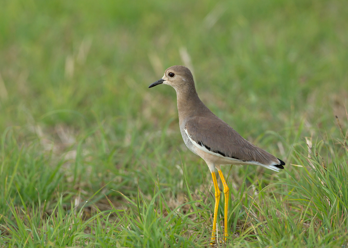White-tailed Lapwing, Sohar Sun Farms, Oman (Mike Watson)