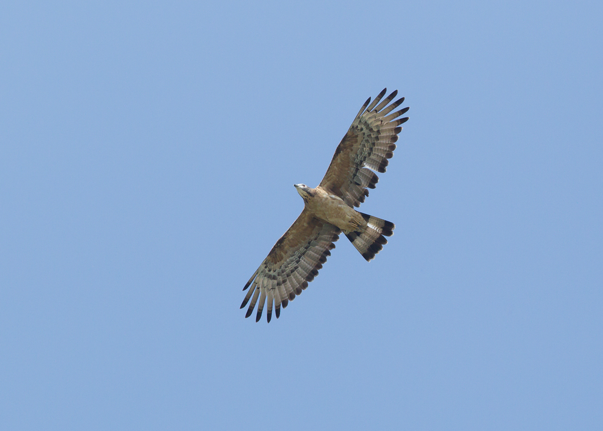 Crested Honey Buzzard, Al Nahda Resort, Barka, Oman