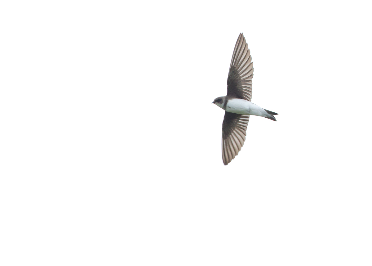 Sand Martin, River Ribble at Ribchester