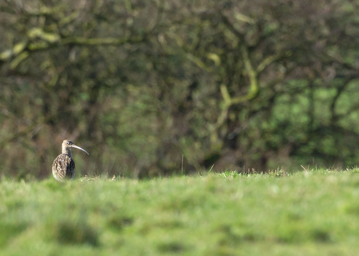 Eurasian Curlew on its breeding territory in Ribchester - I can hear this one calling early each morning from my bed!