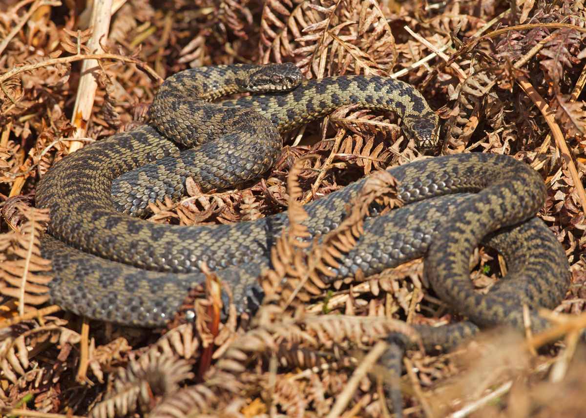 Two female Adders tangled together on a bed of bracken in Bowland.
