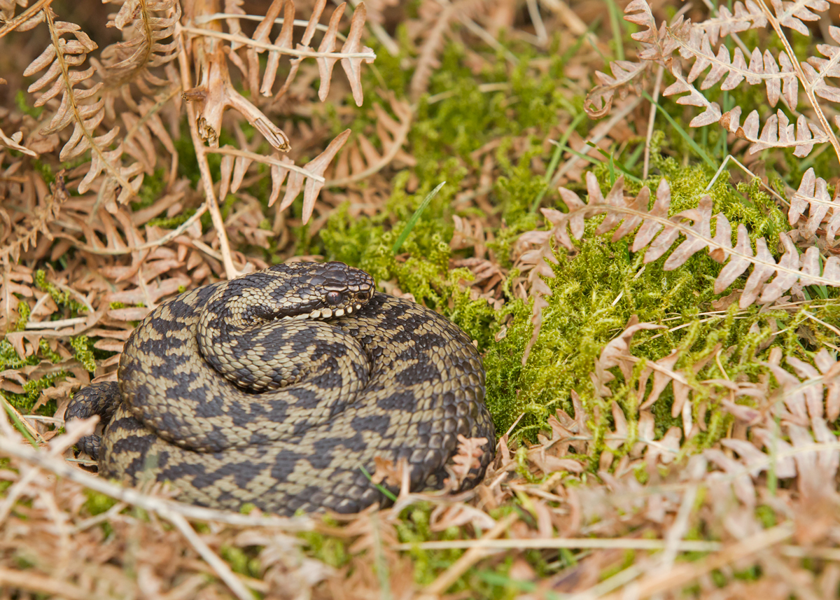 Adder (or Common Viper), Bowland