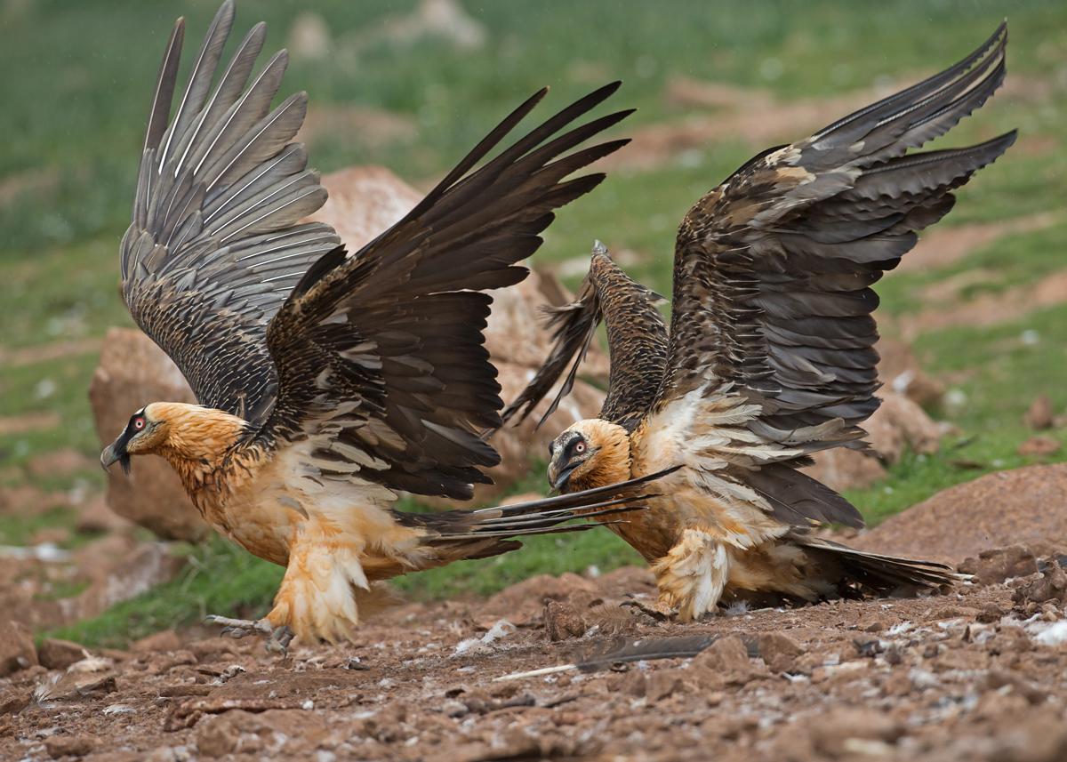 Lammergeiers-Bearded-Vultures-Pyrenees.jpg