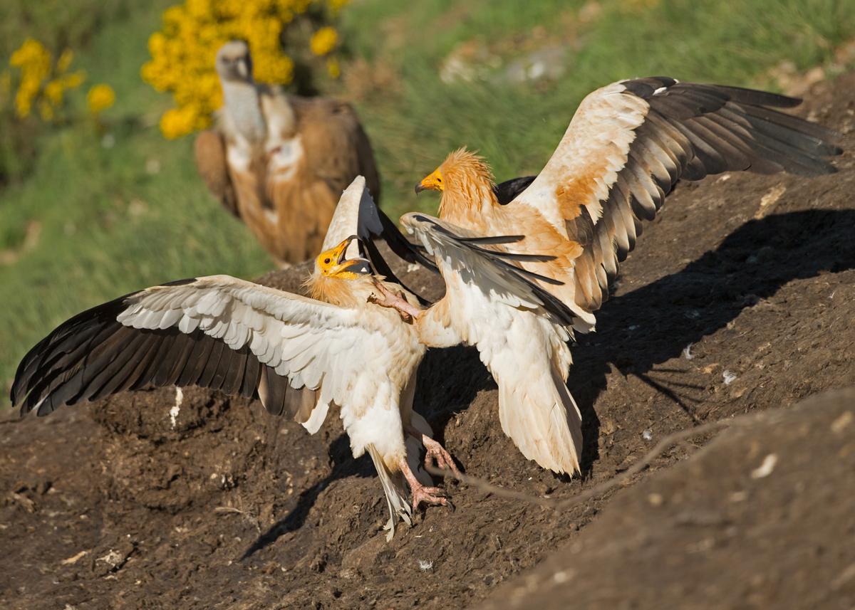 Egyptian-Vulture-Pyrenees.jpg