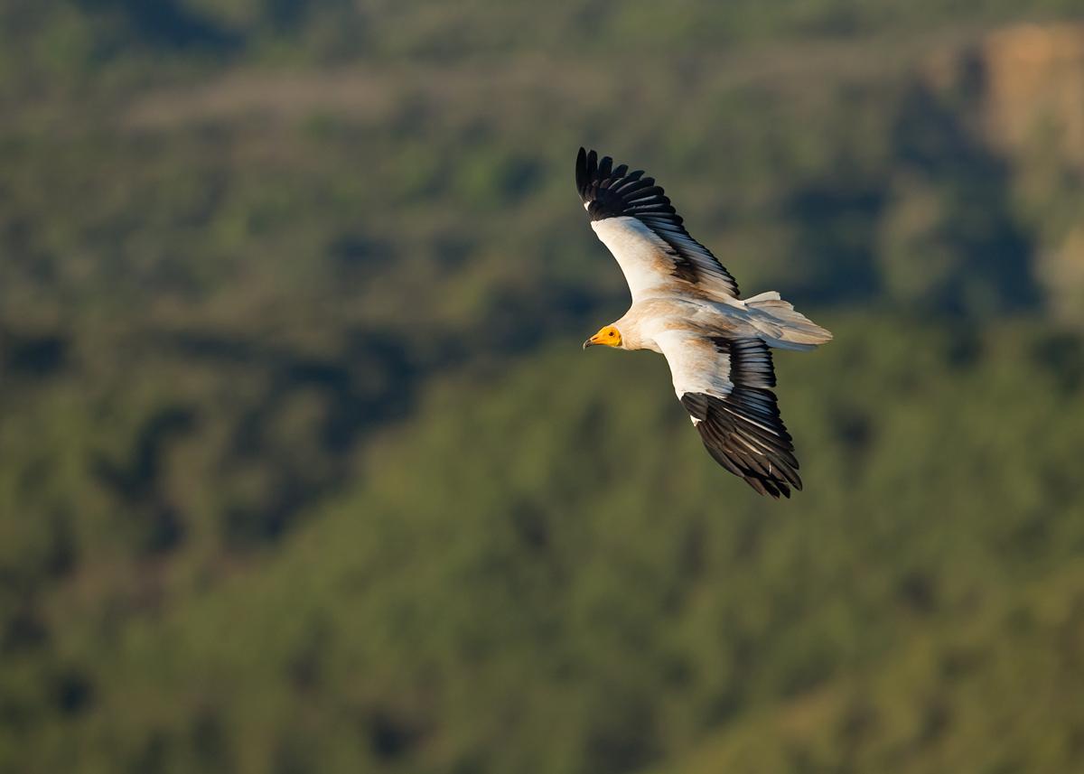 Egyptian Vulture, adult