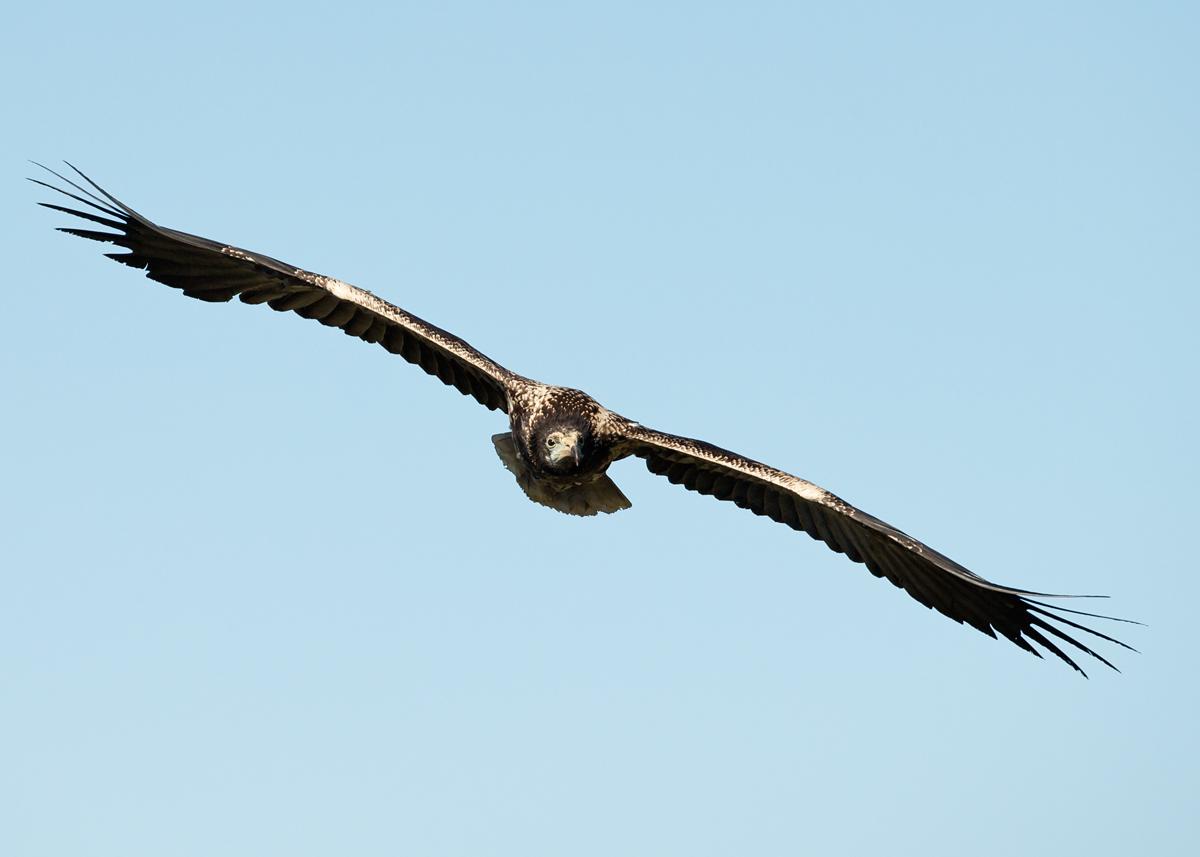 Egyptian Vulture, immature
