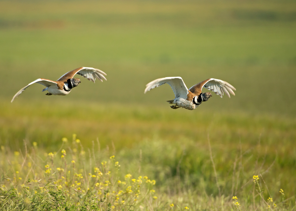 Male Little Bustards chasing, Lleida Plains, Catalonia