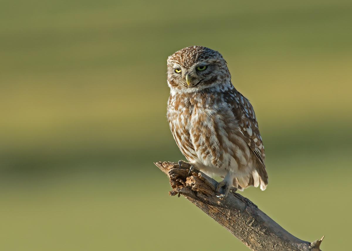 Little Owl, Lleida Plains, Catalonia