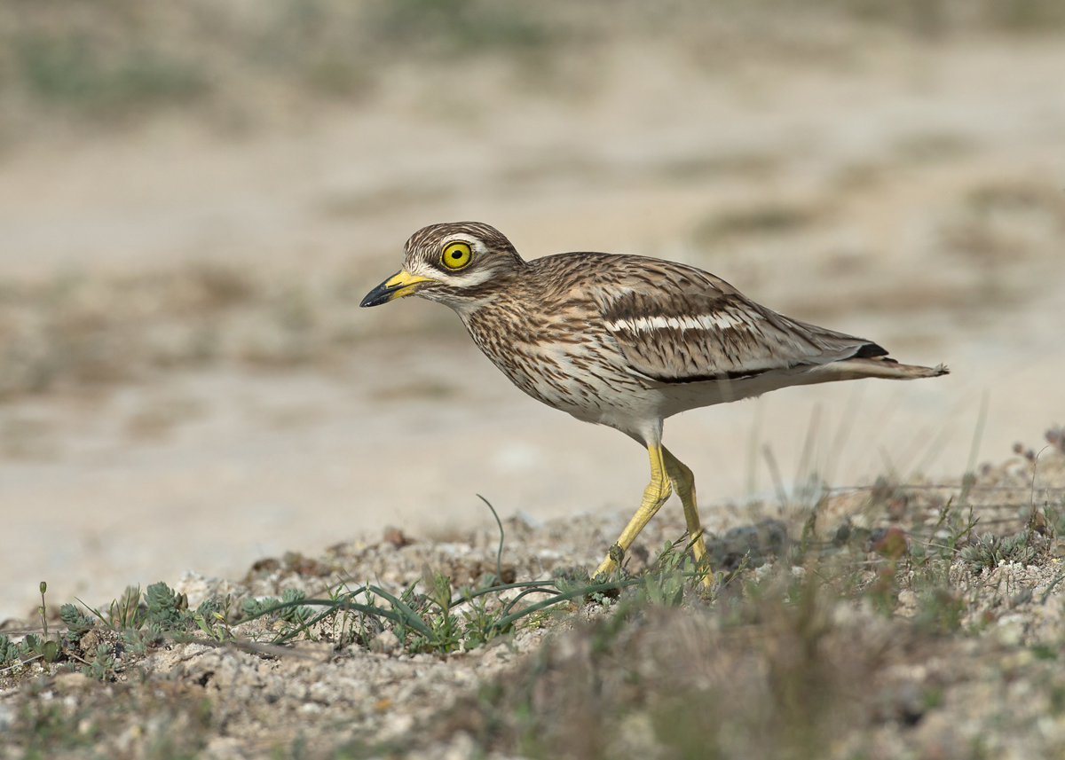 Eurasian Stone Curlew, a female returns to her nest