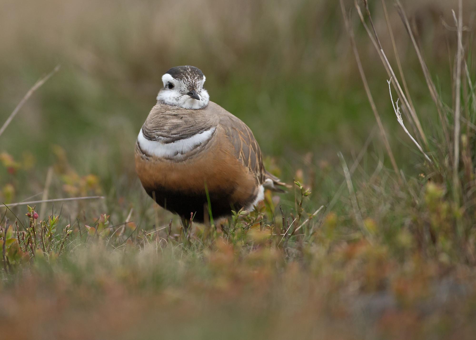 Eurasian Dotterel, female, Pendle Hill