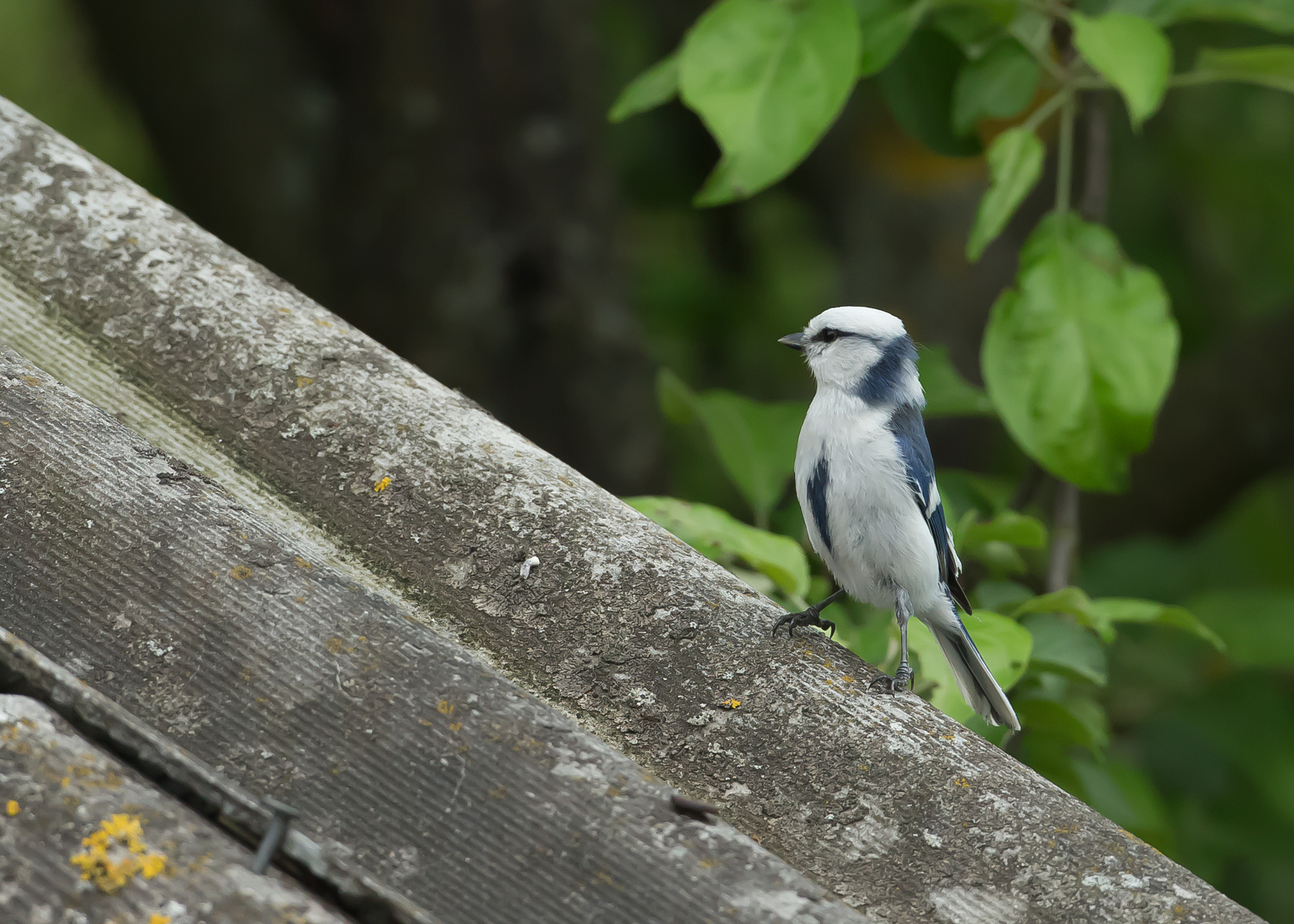 Azure Tit, bird of the trip for most!