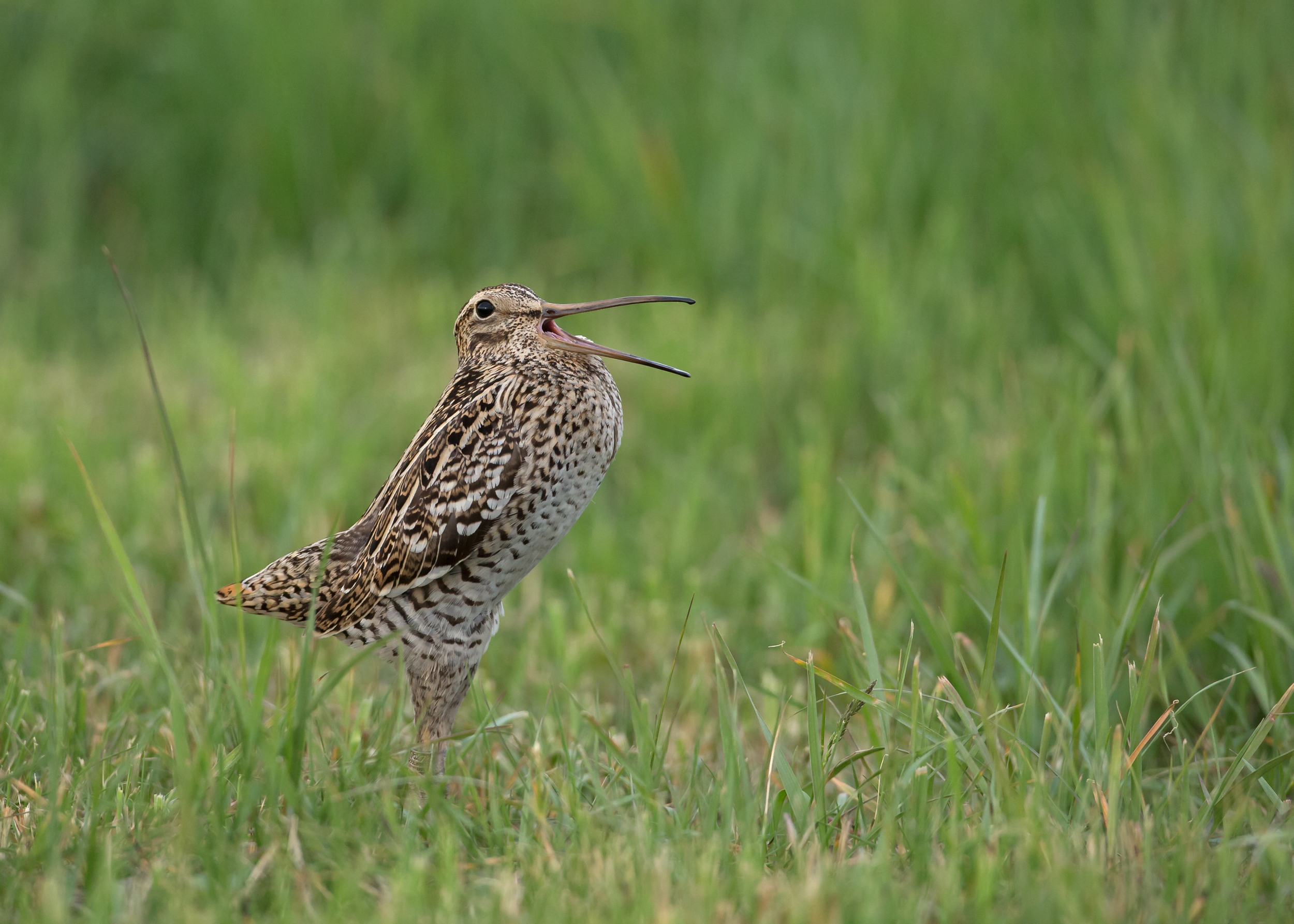 A Great Snipe in full display at its lek by the Pripyat River in Belarus