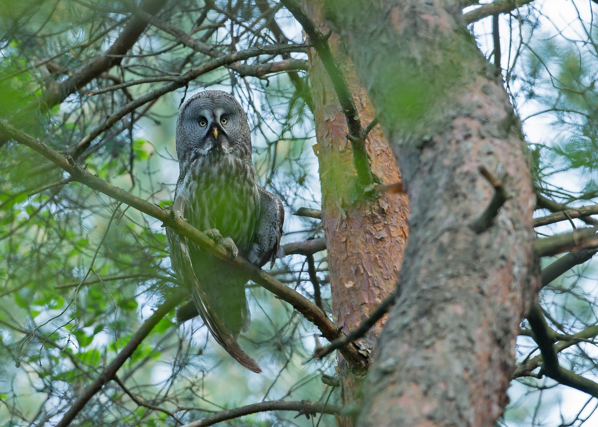 great-grey-owl.jpg