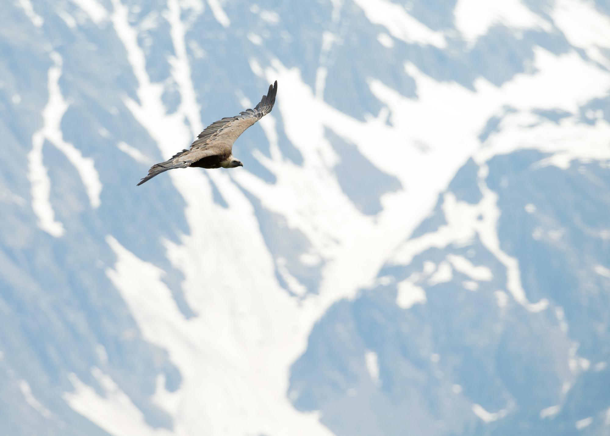 Eurasian Griffon Vulture, Val D'Aran, Catalonia