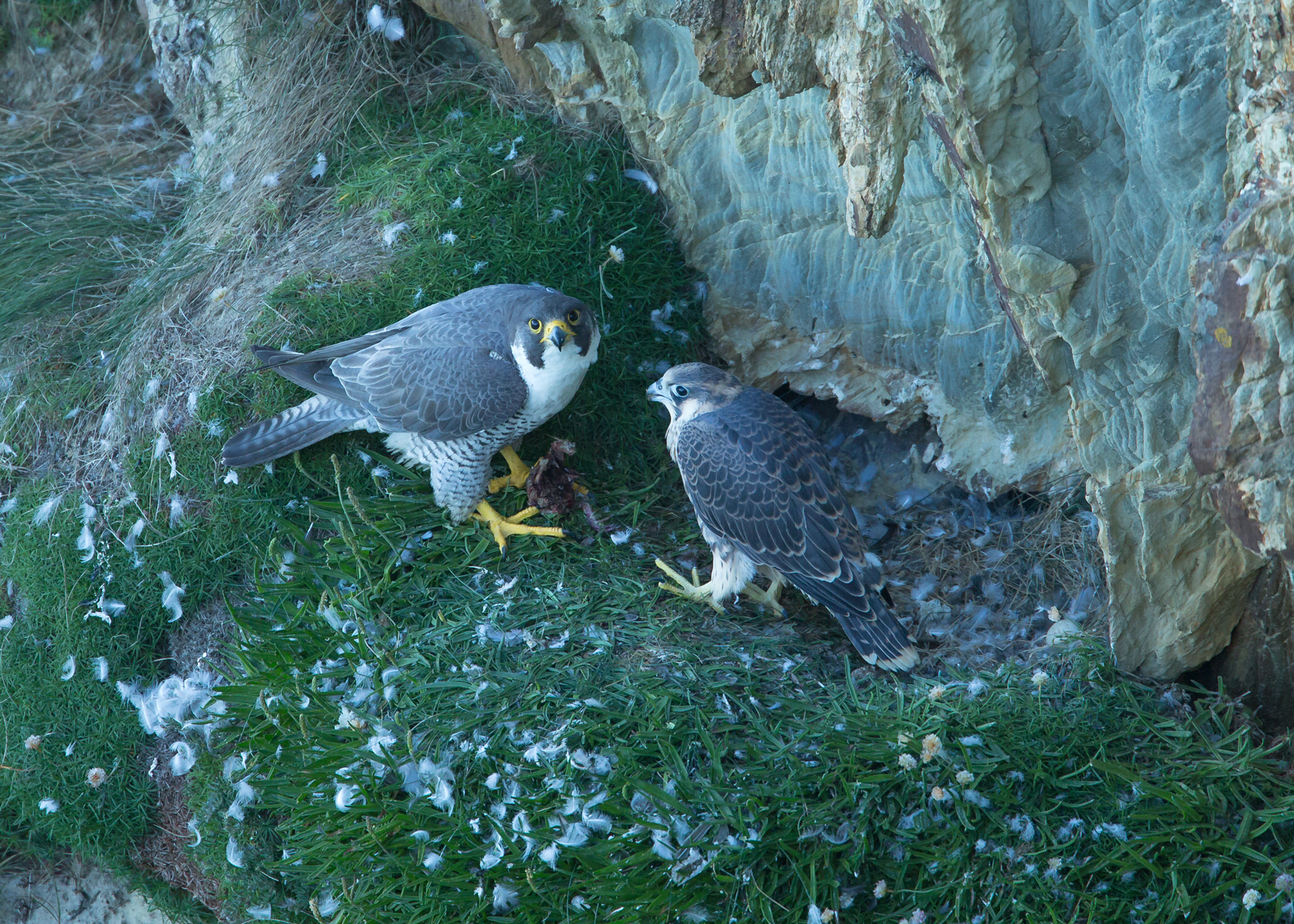 Female Peregrine feeding her youngster the remains of a stashed food item