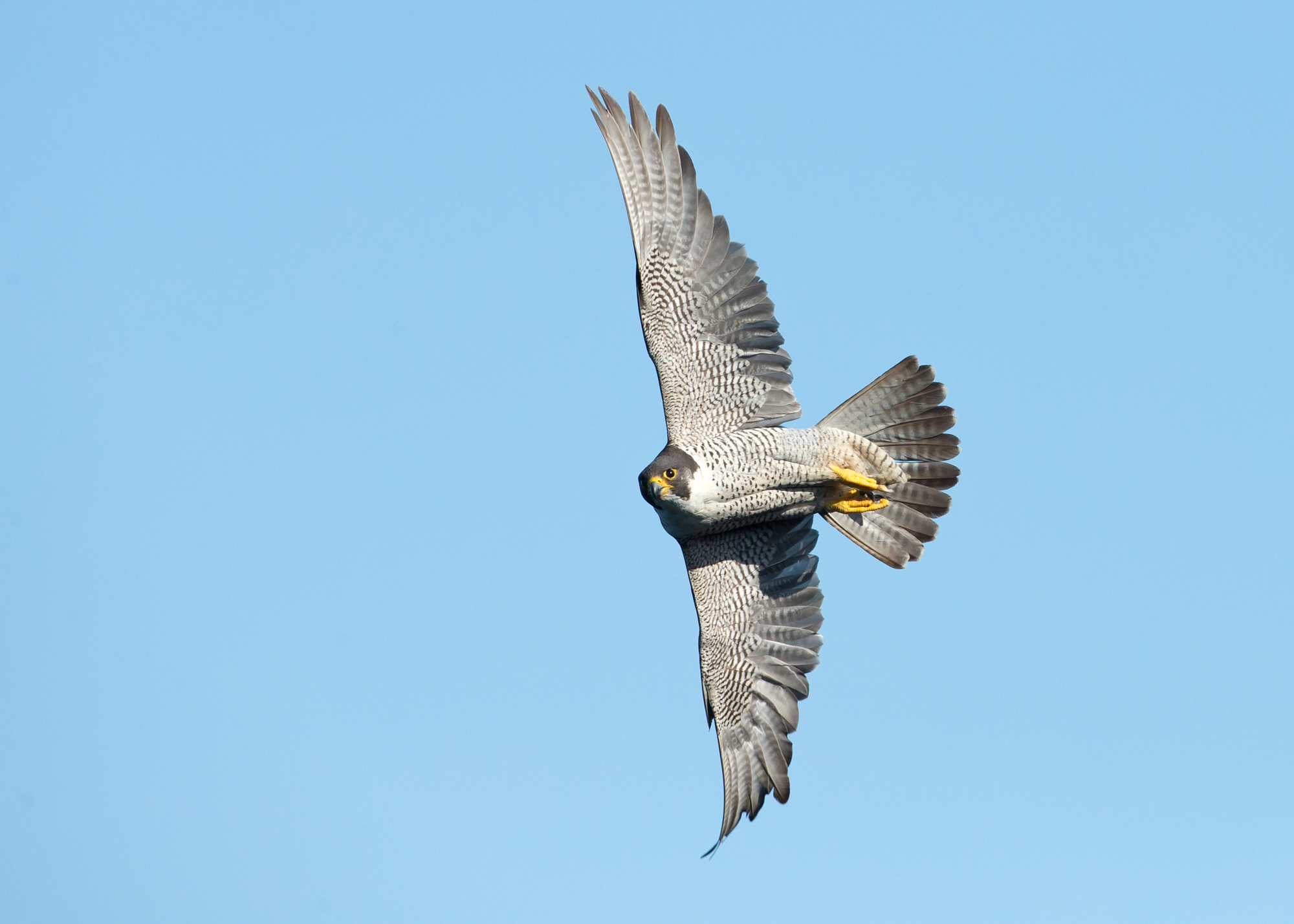 There are few more impressive sights than a Peregrine in flight, it was one of the first birds I learnt how to draw