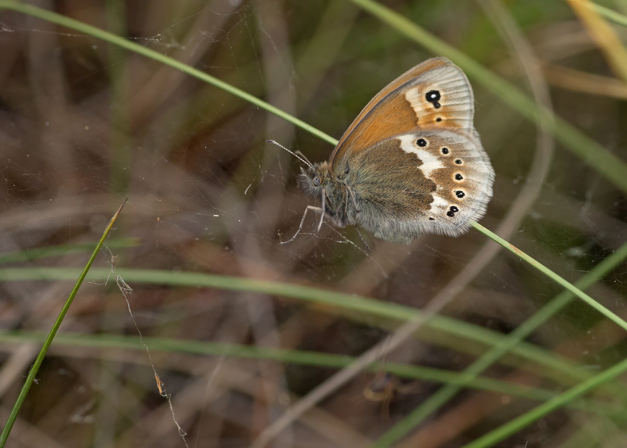 A Large Heath ssp davus dices with death in a spider's web, fortunately spider went hungry this time